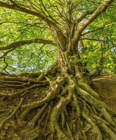 How to grow healthy tree roots