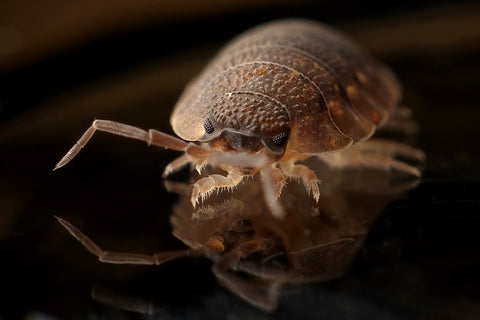 sulfur to get rid of bed bugs