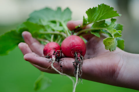 Red radishes home grown gardening