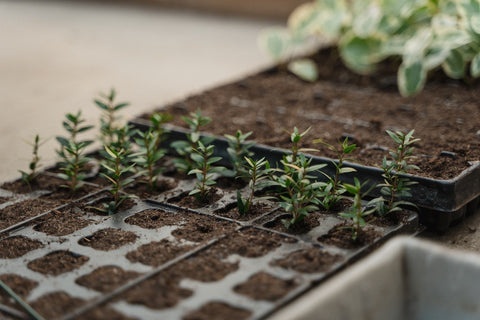 Seedlings in container outdoors