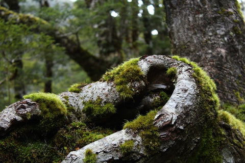 Mossy tree how to remove moss