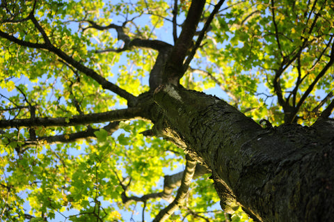 prevent sun scald in trees