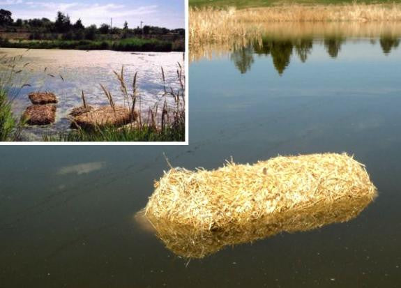 Home & Gardens  Barley straw for pond algae or wheat straw garden mulch!