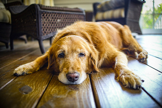 Caring For Big Dogs With Arthritis