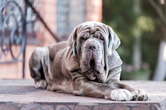 Helpful Mastiff Information