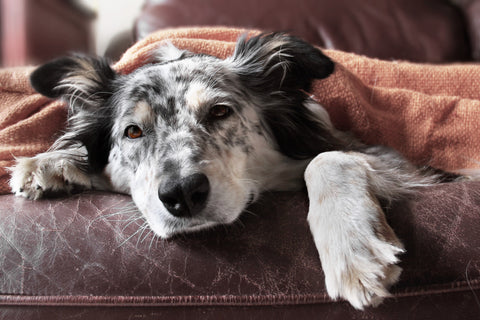 Guide to Your Dog's Seasonal Allergies