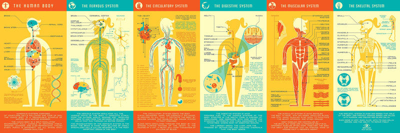 Human Anatomy Infographic Poster by Kevin Tong