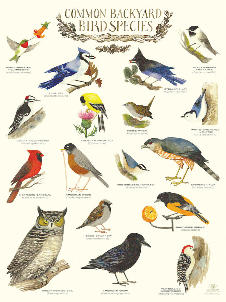 """Common Backyard Bird Species"" Infographic Poster by Diana Sudyka"