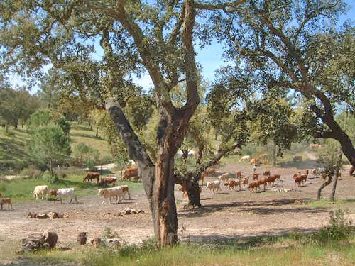Cattle grazing through a cork forest in Portugal.