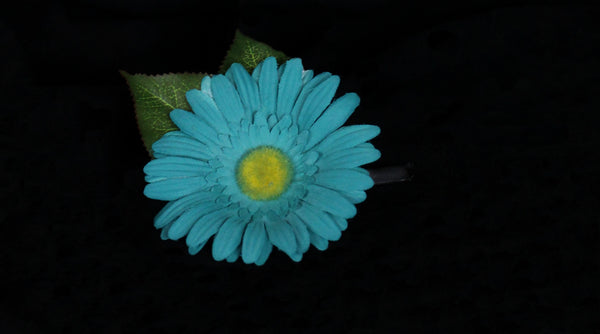 Teal Gerber Daisy Boutonniere