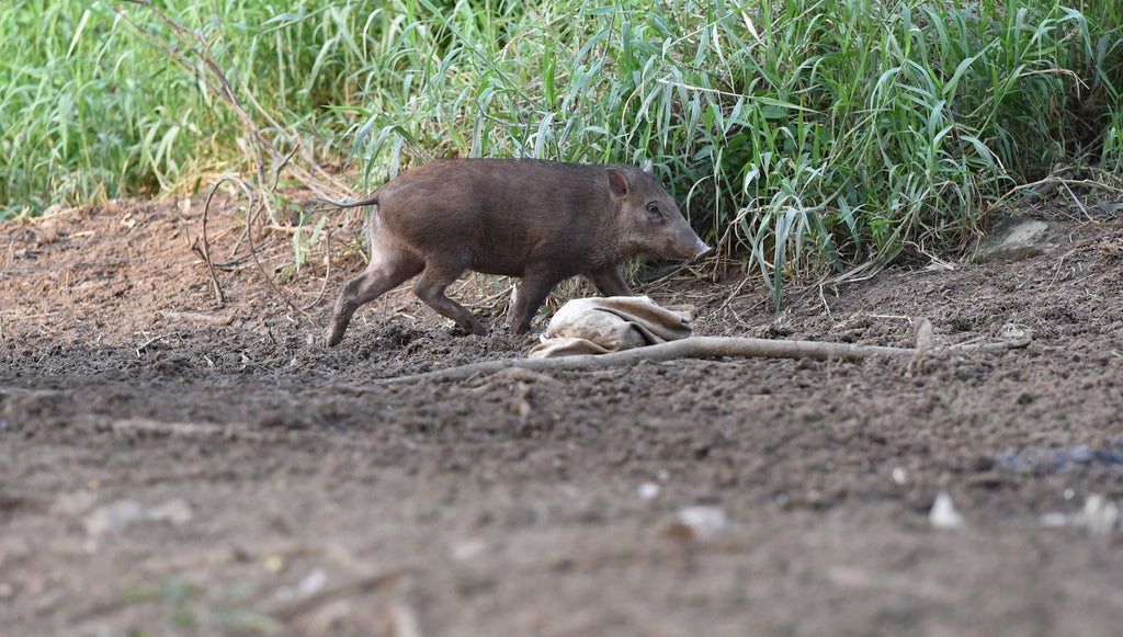 Speaking Of Pigs ... Check Out The Wild Boars Around Singapore!
