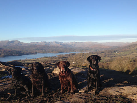 Labradors on the summit of Orrest Head overlooking Windermere