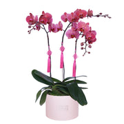 Pink Phalaenopsis Bloom Box 阖家团圆