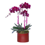 Fuchsia Phalaenopsis Bloom Box 生意兴隆