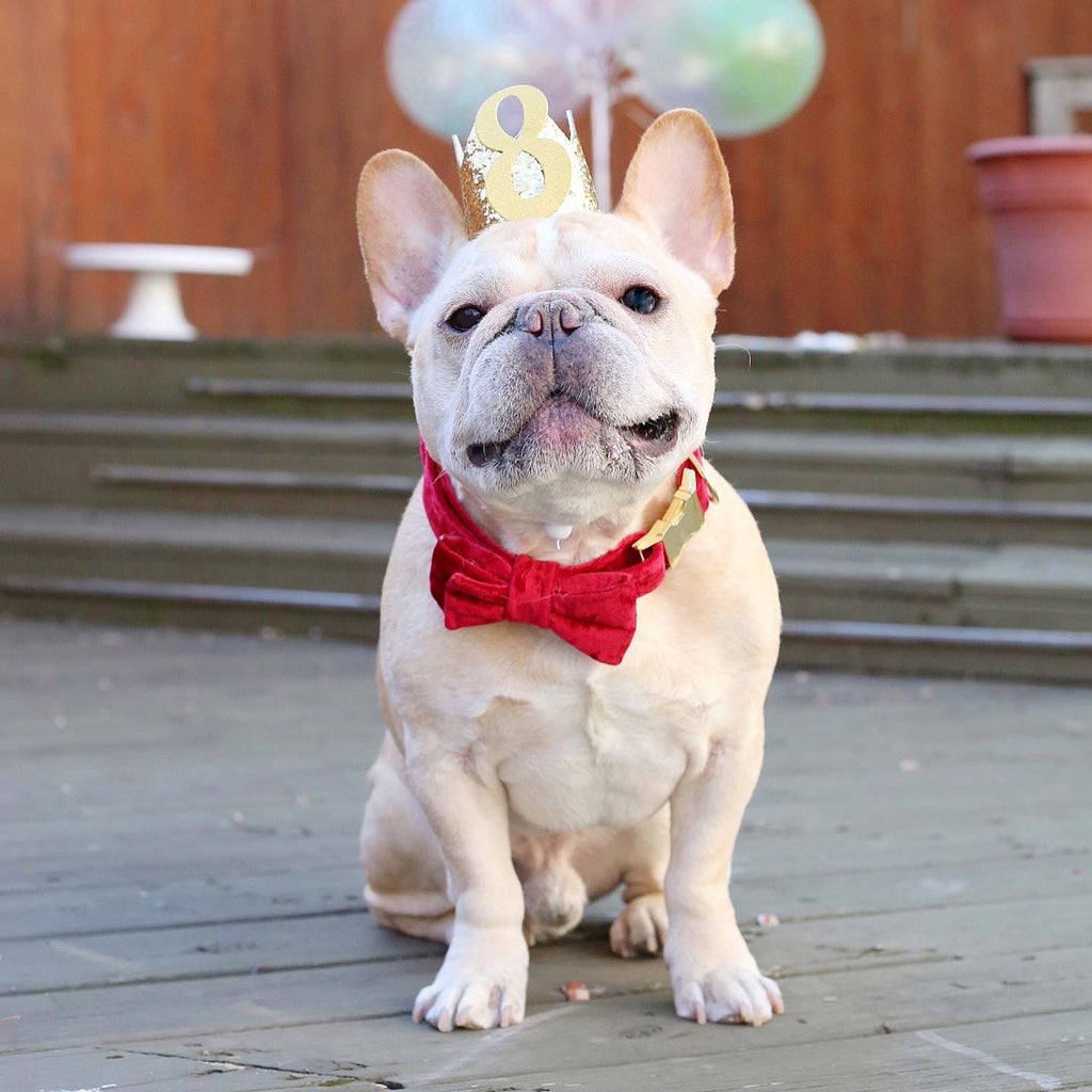 Romeo French Bulldog Birthday
