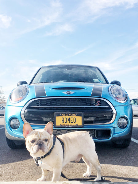 Romeo the French Bulldog and Mini Cooper
