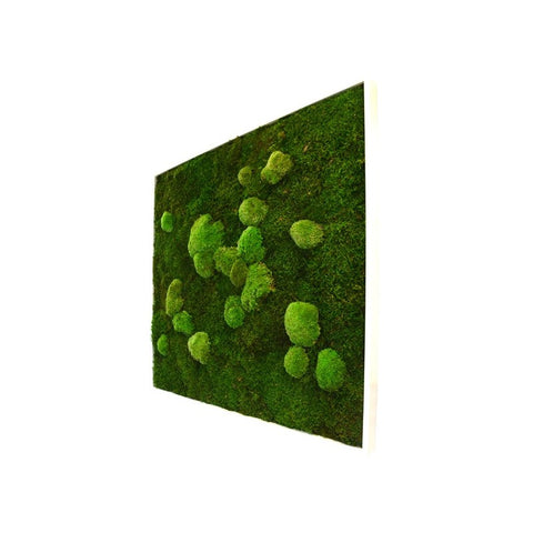 Bun Moss - Square Large Wall Garden