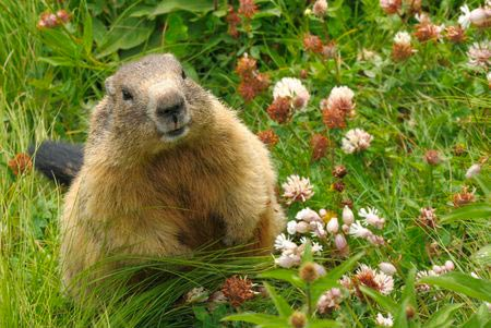 Groundhog photo Copyright 123rf Smileus