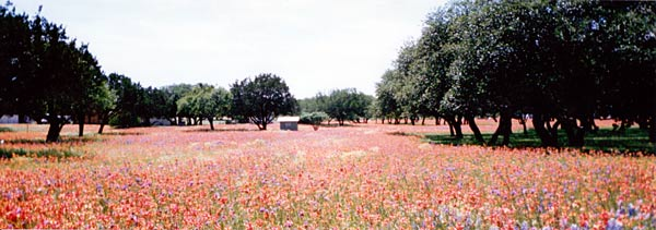 Indian Paintbrush Photo, Texas