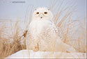 Snowy Owl Photo 2