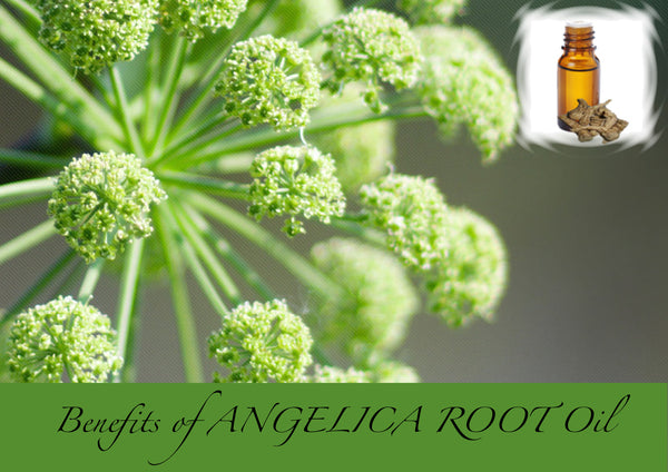 Angelica Root essential oil benefits for health & healing