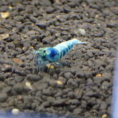 FW - Shrimp Blue Bolt