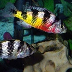 - Astatotilapia Latifasciata (Crimson Tide)