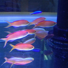 - Dispar Anthias