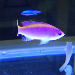 - Purple Queen Anthias