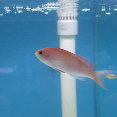 - Red Rose Anthias