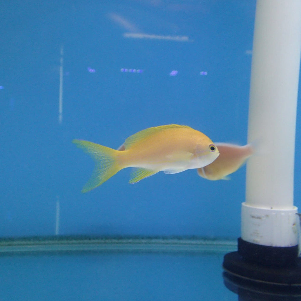 - Lyretail Anthias