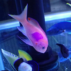 - Squareback Anthias