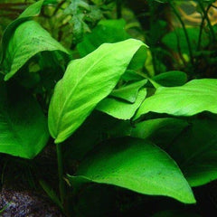 -  Anubias Varieties Loose (Large)