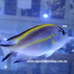 Bellus Angel Fish