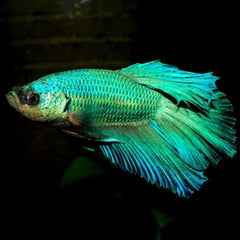 Betta Veiltail Green Fighter Fish