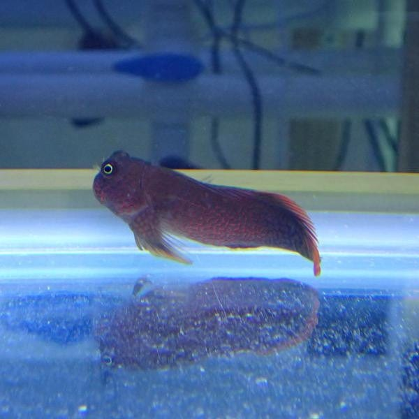 - Red Indian Blenny