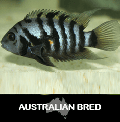 Cichlid Convict Fish