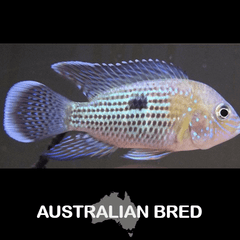 Green Terror White Saum Cichlid Fish