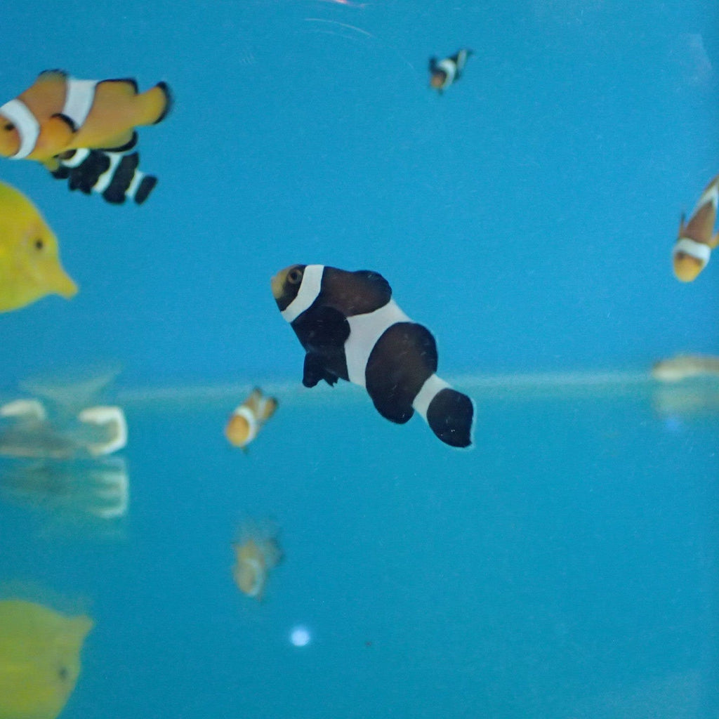 - Ocellaris Clown Black Aquacultured