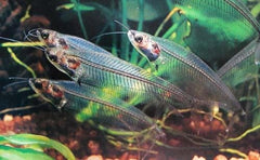 - Glass Catfish
