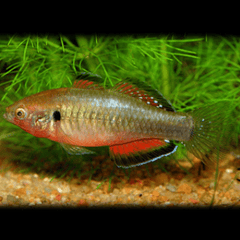 Empire Gudgeon