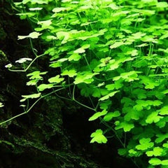 Hydrocotyle tripartita 'japan' mini-