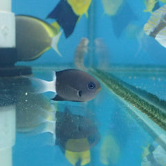 - Black & White Chromis