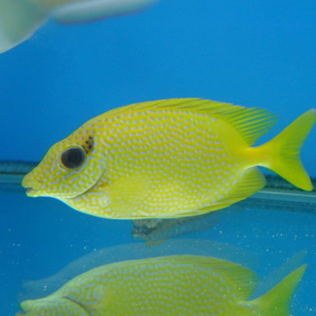 - Blue Spot Rabbitfish