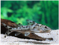 Pimelodus Pictus Catfish