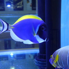 - Powder Blue Tang