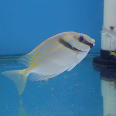 - Barred Rabbitfish
