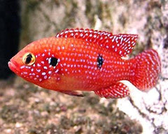 Red Jewel Cichlid