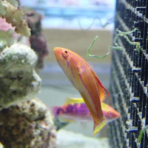 - Carpenter's Fairy Wrasse