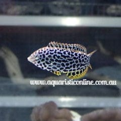 Female Green Leopard Wrasse Fish